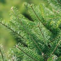 Canaan Fir Christmas Trees